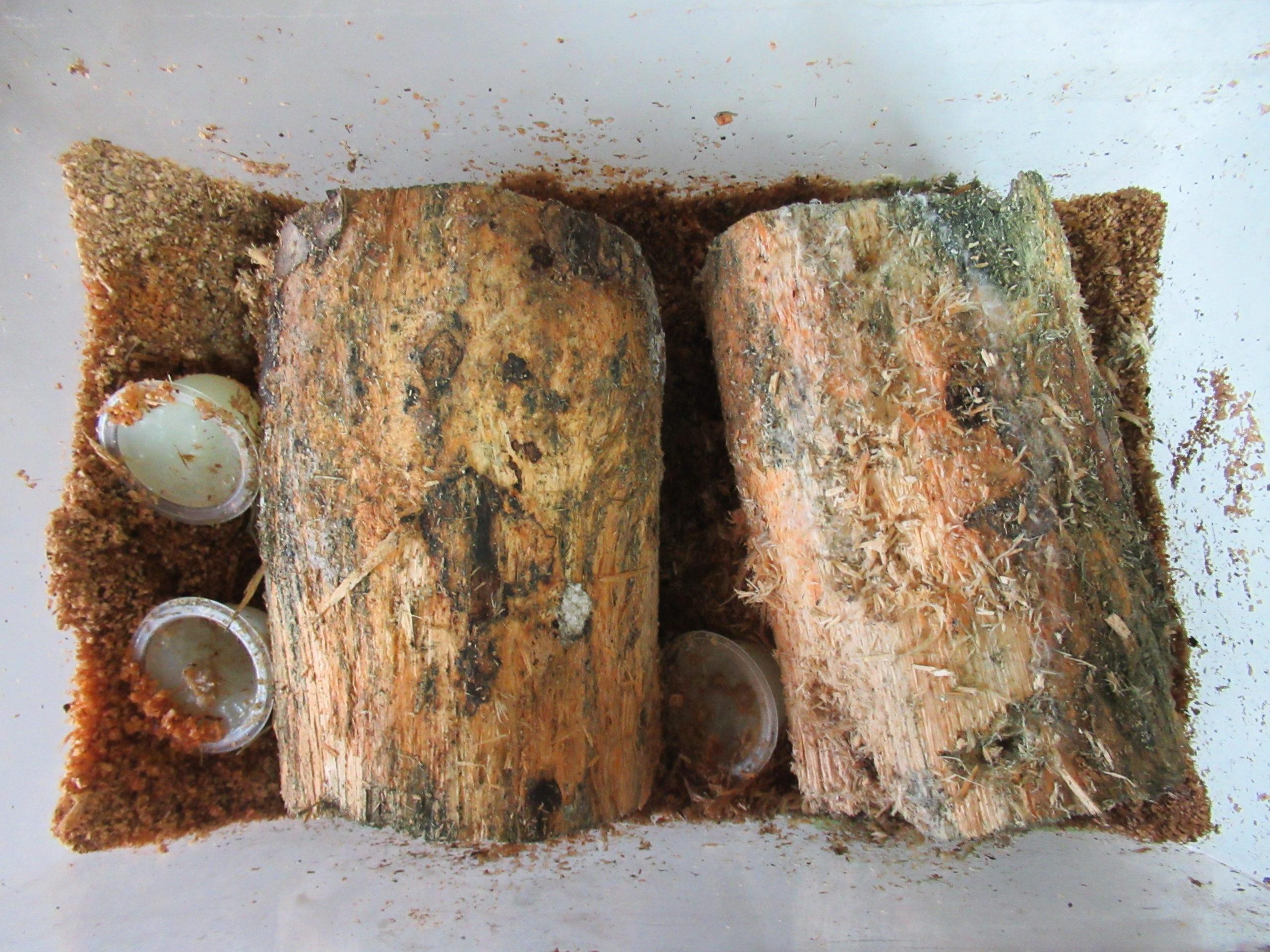 オオクワガタ産卵セットの産卵木の変化を確認する(ホペイ72)