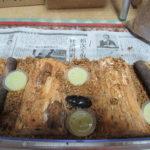 巨大オオクワガタ作出のための幼虫飼育の改善点(産卵セット編)