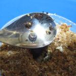 巨大オオクワガタ作出のための幼虫飼育の改善点(菌糸ビン管理)