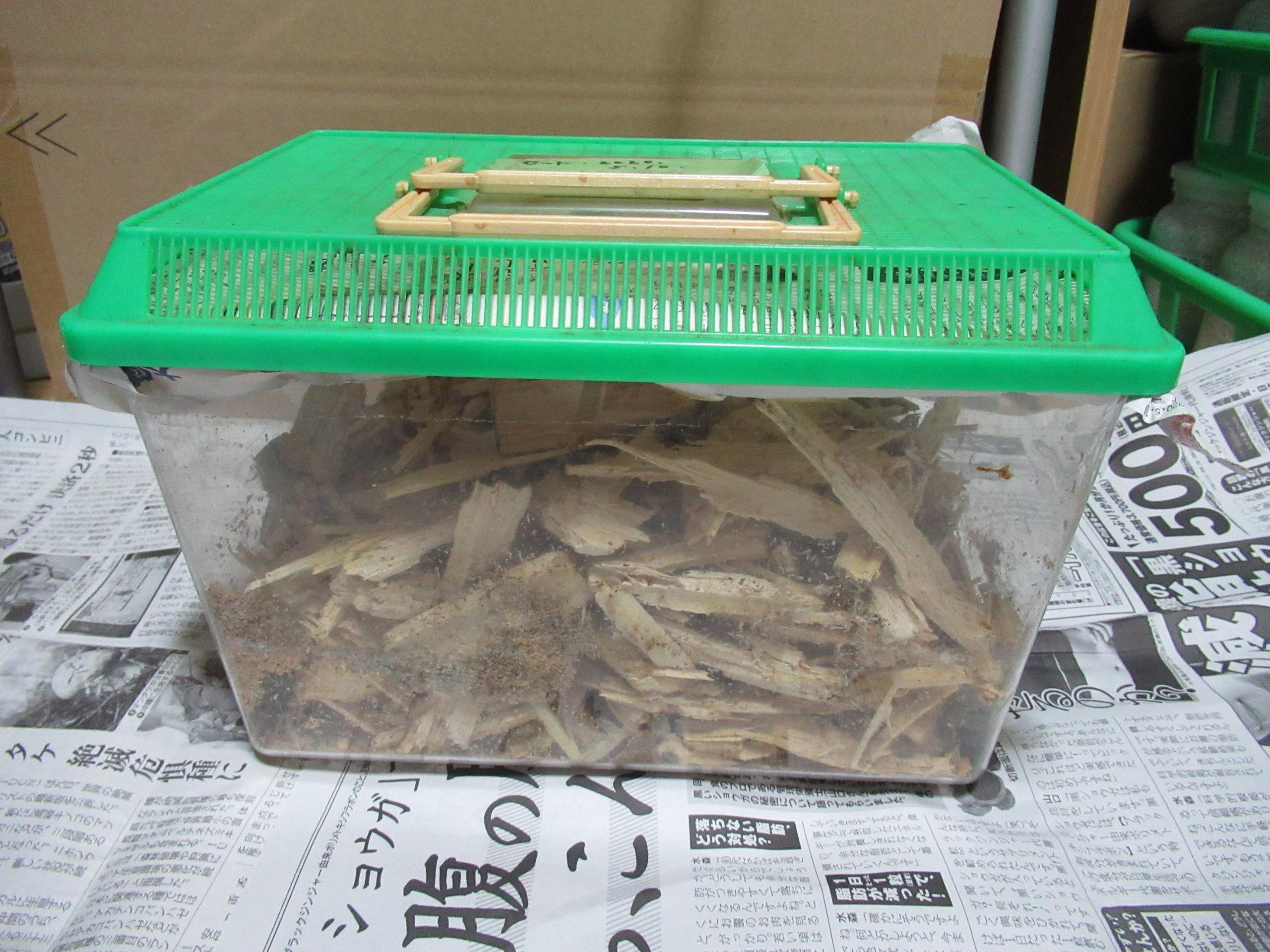 オオクワガタの幼虫を割り出した後の産卵セットの残骸の処理