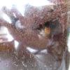 気になるヤエヤママルバネクワガタ初期3令幼虫の近況