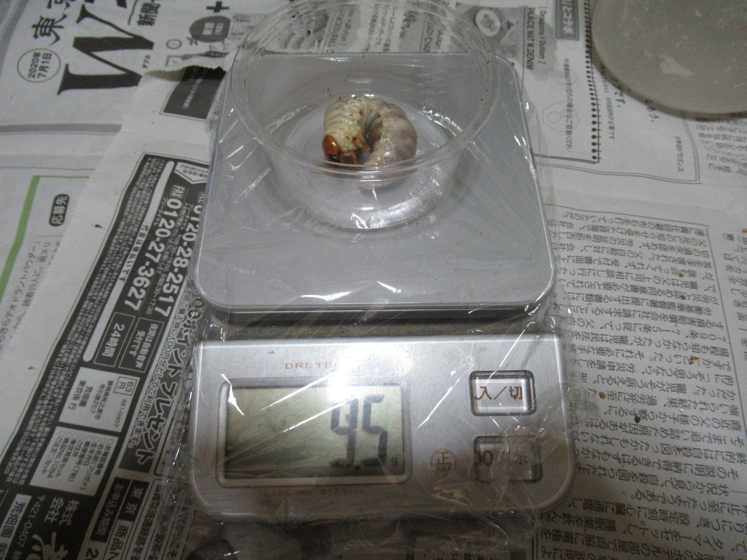 ヒラタクワガタ幼虫割り出し1か月後の成長(体重計測)を見る