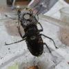 ミヤマクワガタ幼虫飼育プラン2020.09