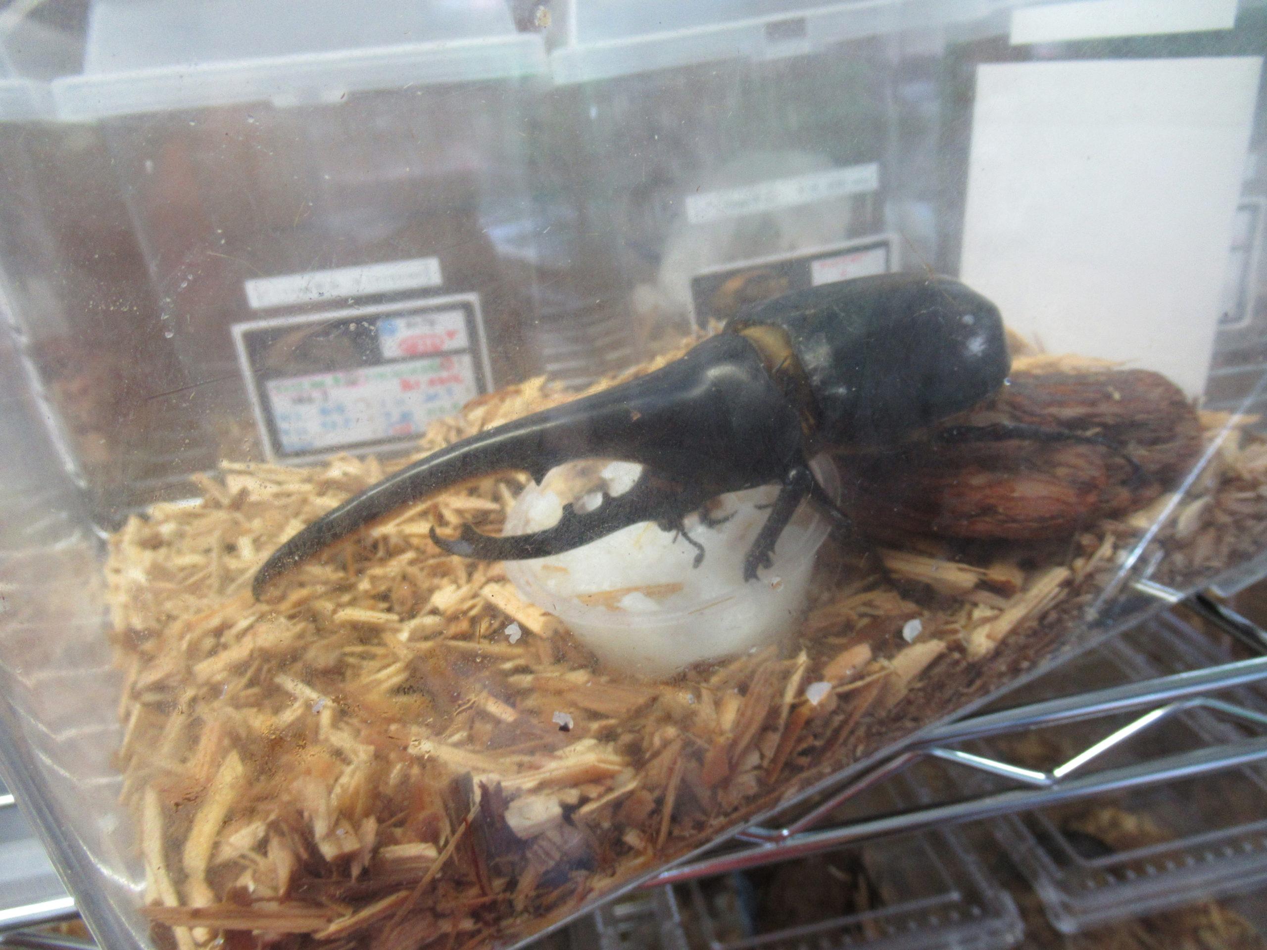 昆虫ショップ ビートロンに行ってきました!OAKS血統ヘラクレスオオカブトのお値段は?