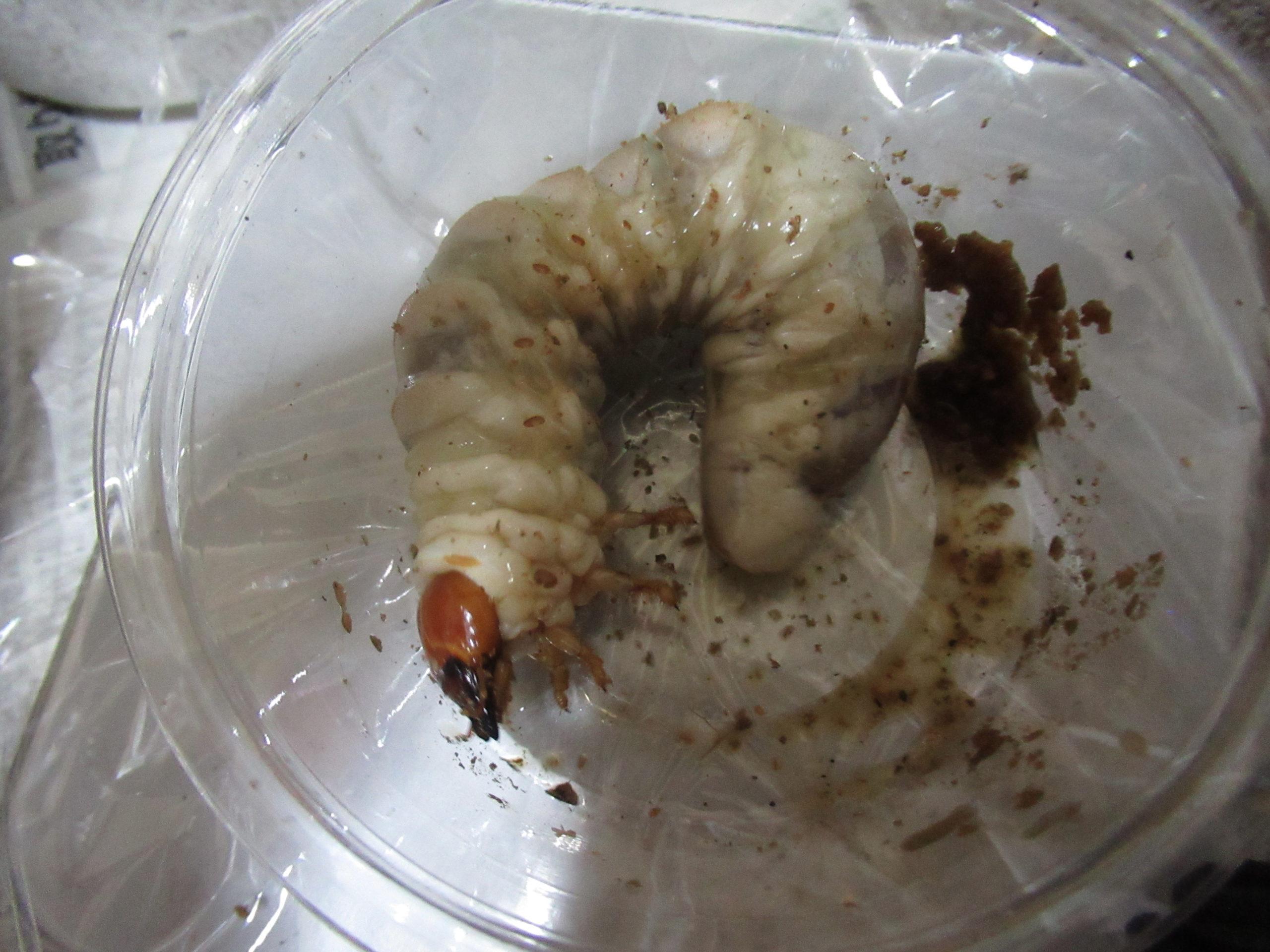 ホペイオオクワガタ幼虫の菌糸ビン交換2本目の結果