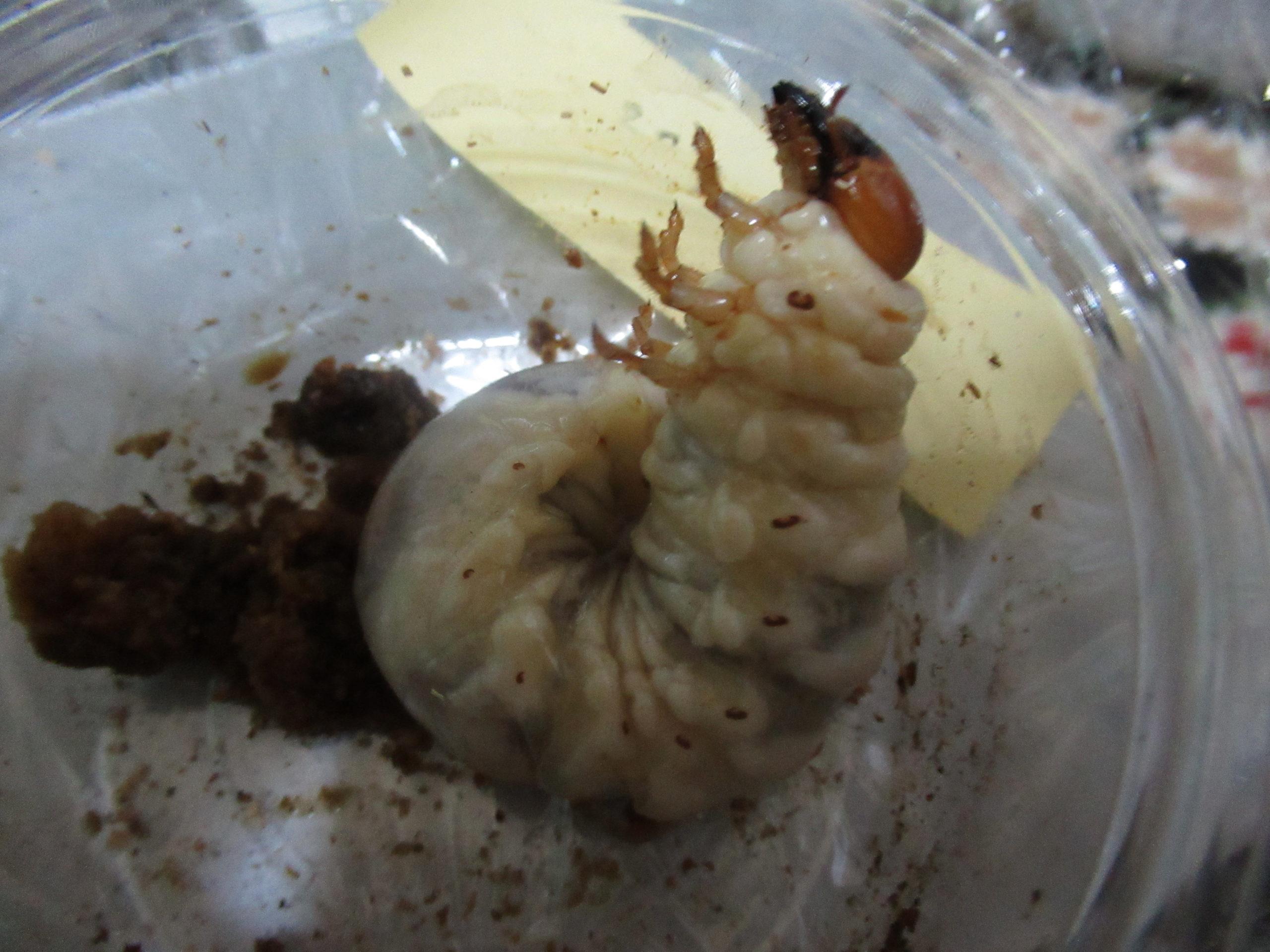 ヒラタクワガタ幼虫の菌糸ビン2本目の交換の結果