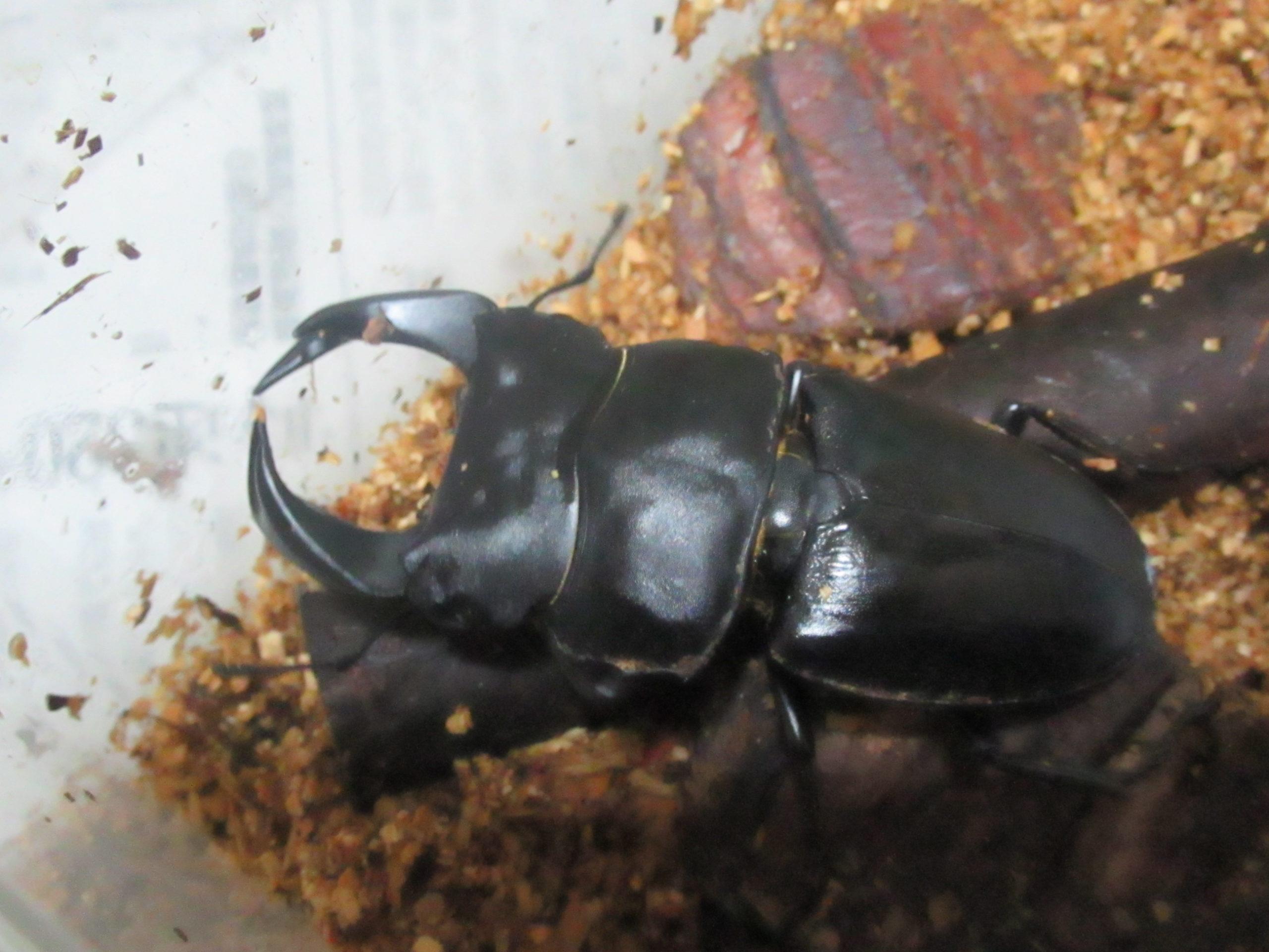 食べてばっかりの殺虫剤被害のホペイオオクワガタに回復の兆しか?!