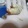 訳アリ!ヒラタクワガタ幼虫の菌糸ビン交換の結果