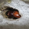 4か月で早期羽化した本土ヒラタクワガタ♀のサイズは?