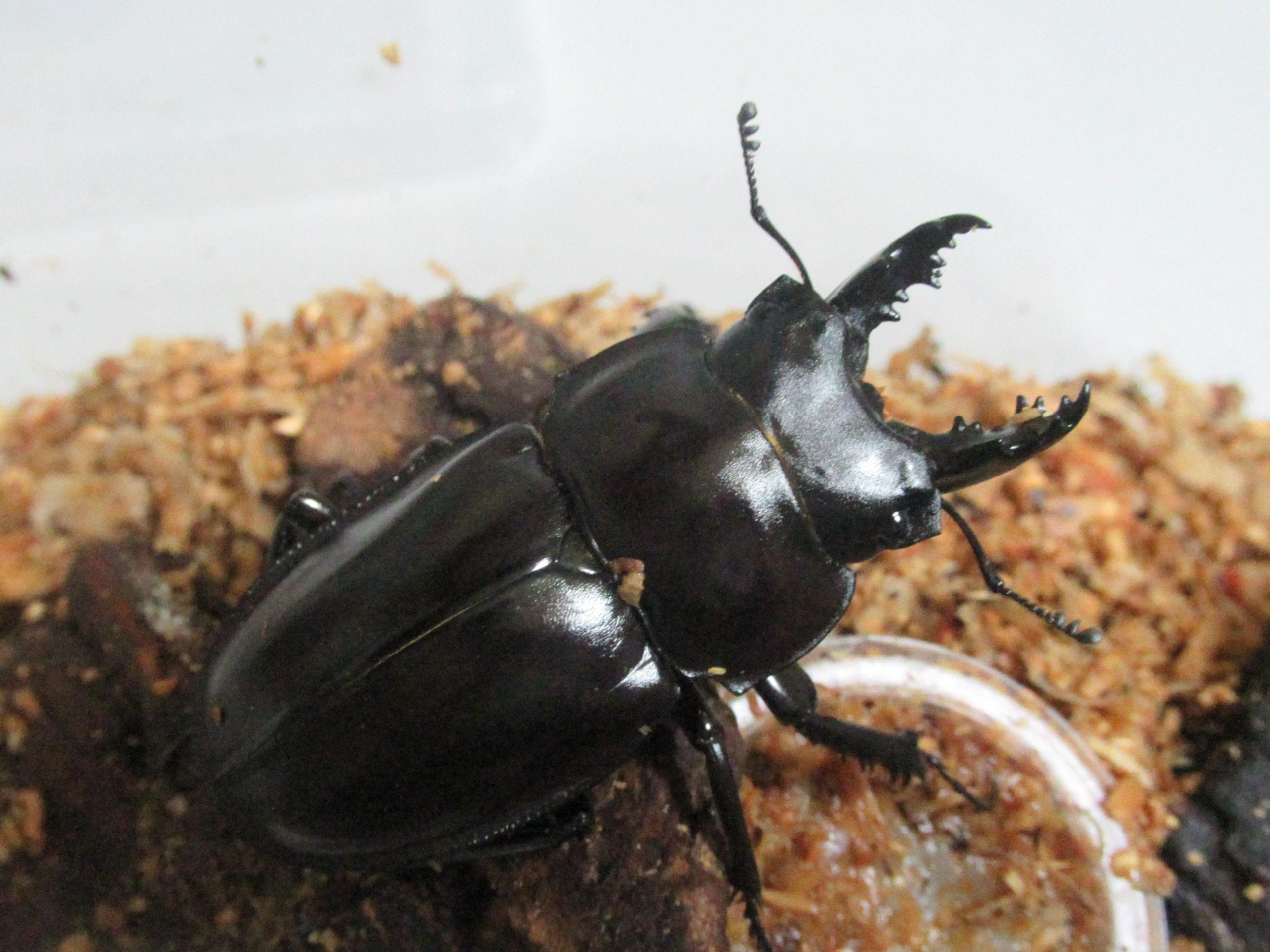 ヤエヤママルバネクワガタの成虫飼育の様子(生体写真館)
