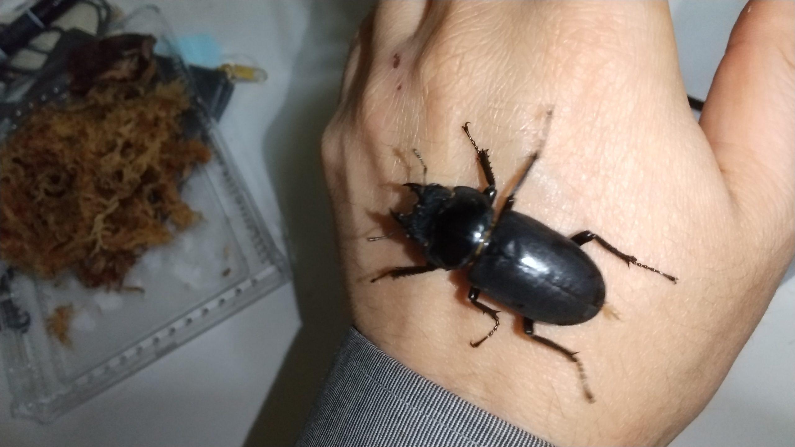 ヒメオオクワガタの繁殖について昆虫ショップにきく