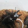 ヤエヤママルバネクワガタの卵42個の内、何頭の幼虫が取れたのか?!