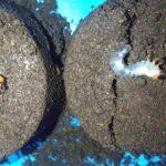 ミヤマクワガタ2令幼虫の雌雄判別