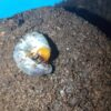 孵化後4か月のミヤマクワガタの幼虫をプリンカップからマットボトルに移す