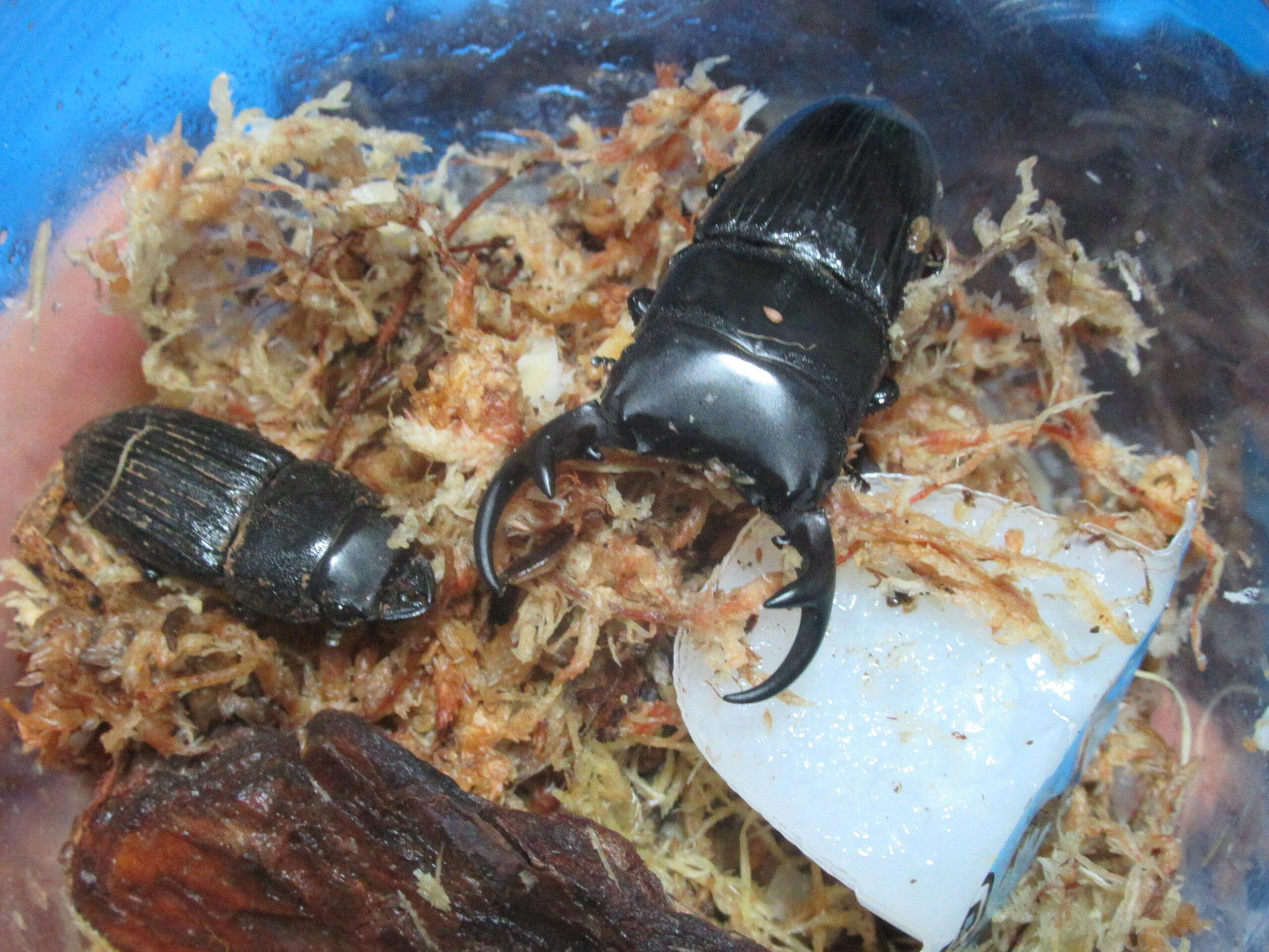 パラレルスネブトクワガタの産卵セットの割り出し結果