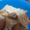 モーレンカンプオウゴンオニクワガタのデジカワラ産卵セットによる割り出し②