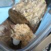WDモーレンカンプオウゴンオニに植菌レイシ材の産卵セットを試みる