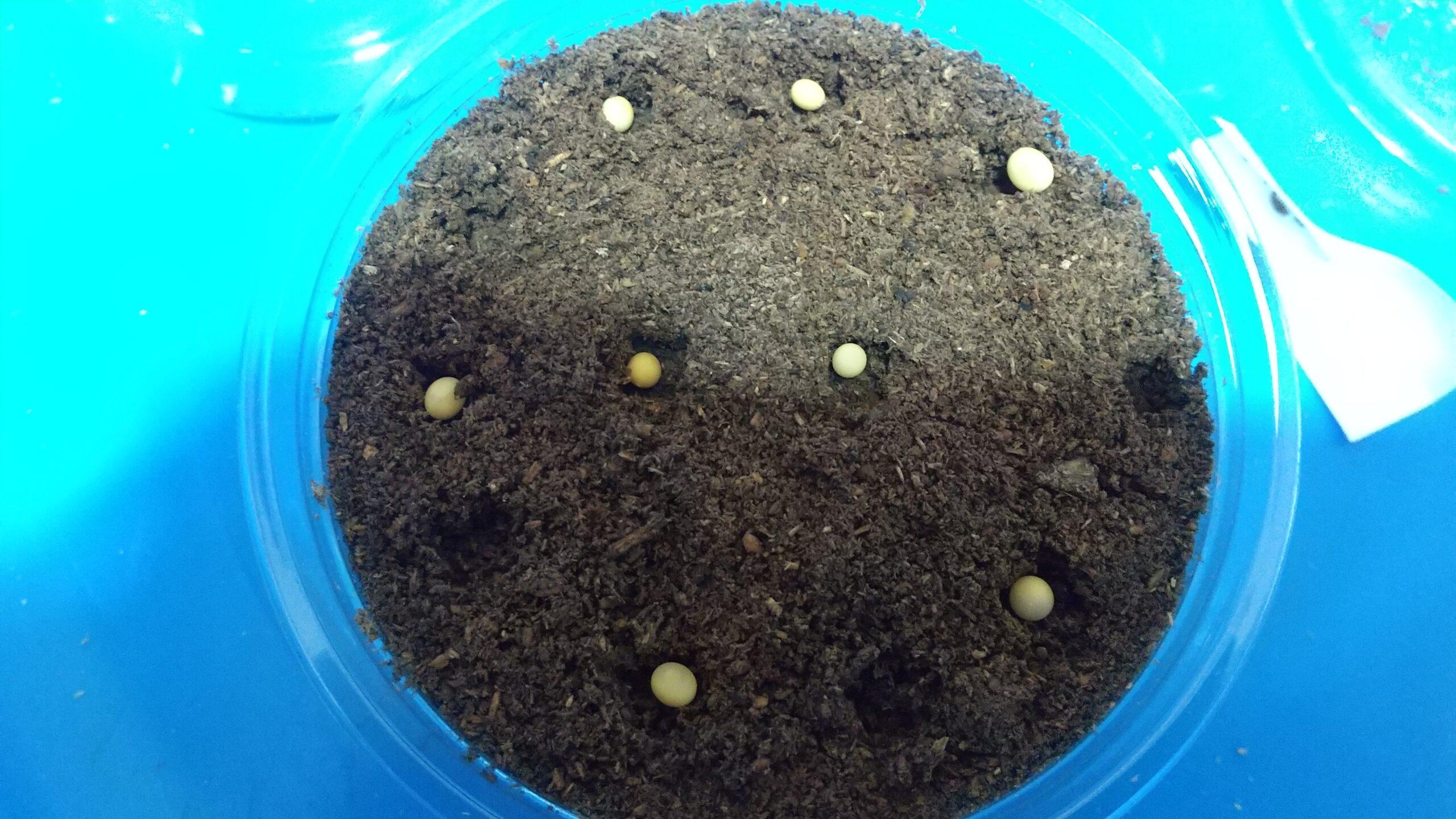 CBモーレンカンプオウゴンオニ、菌床産卵で16頭の卵・幼虫が採れた!