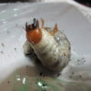 ミヤマクワガタ2令幼虫(孵化後7か月)のマットボトル交換