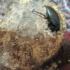 モーレンカンプオウゴンオニ、メスの産卵セット内での生態