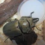 モーレンカンプオウゴンオニクワガタの成虫飼育、羽化後、8か月後の様子